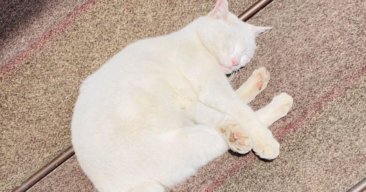今戸神社の白猫ナミちゃん